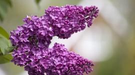 Lilac Wallpaper For Desktop