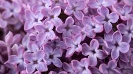 Lilac Wallpaper Free