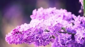 Lilac Wallpaper HD