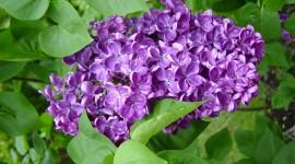 Lilac Wallpaper HQ