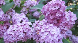 Lilac Wallpaper High Definition