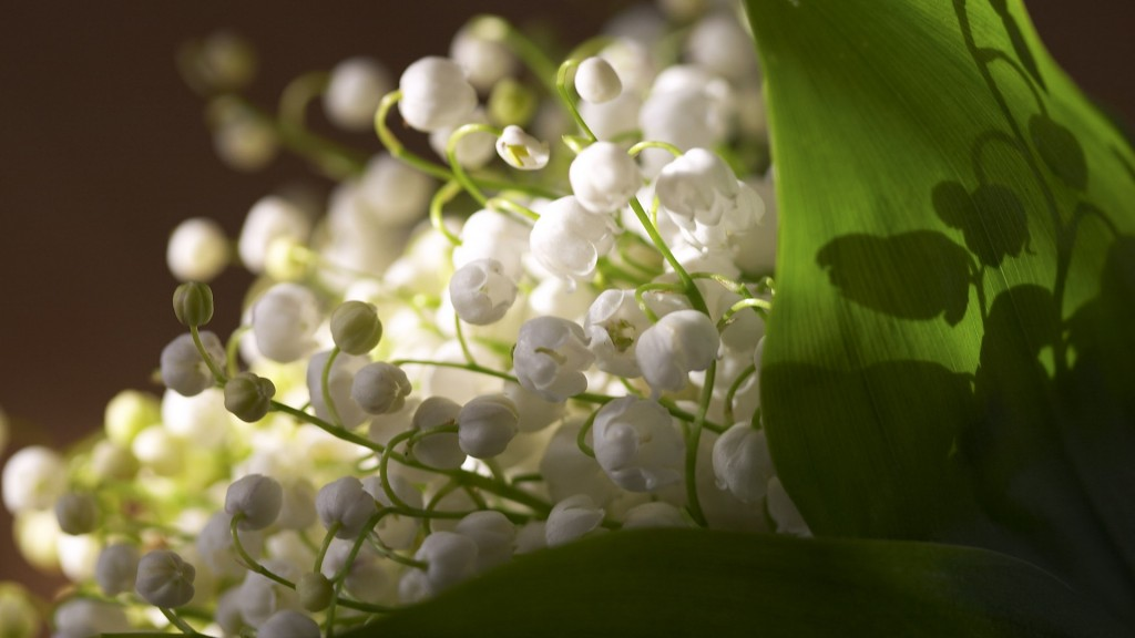 Lily Of The Valley wallpapers HD