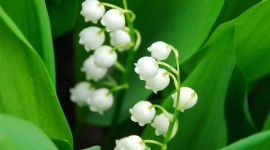 Lily Of The Valley Wallpaper For IPhone