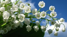 Lily Of The Valley Wallpaper For PC