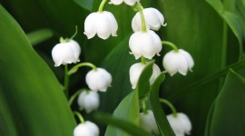 Lily Of The Valley Wallpaper Free