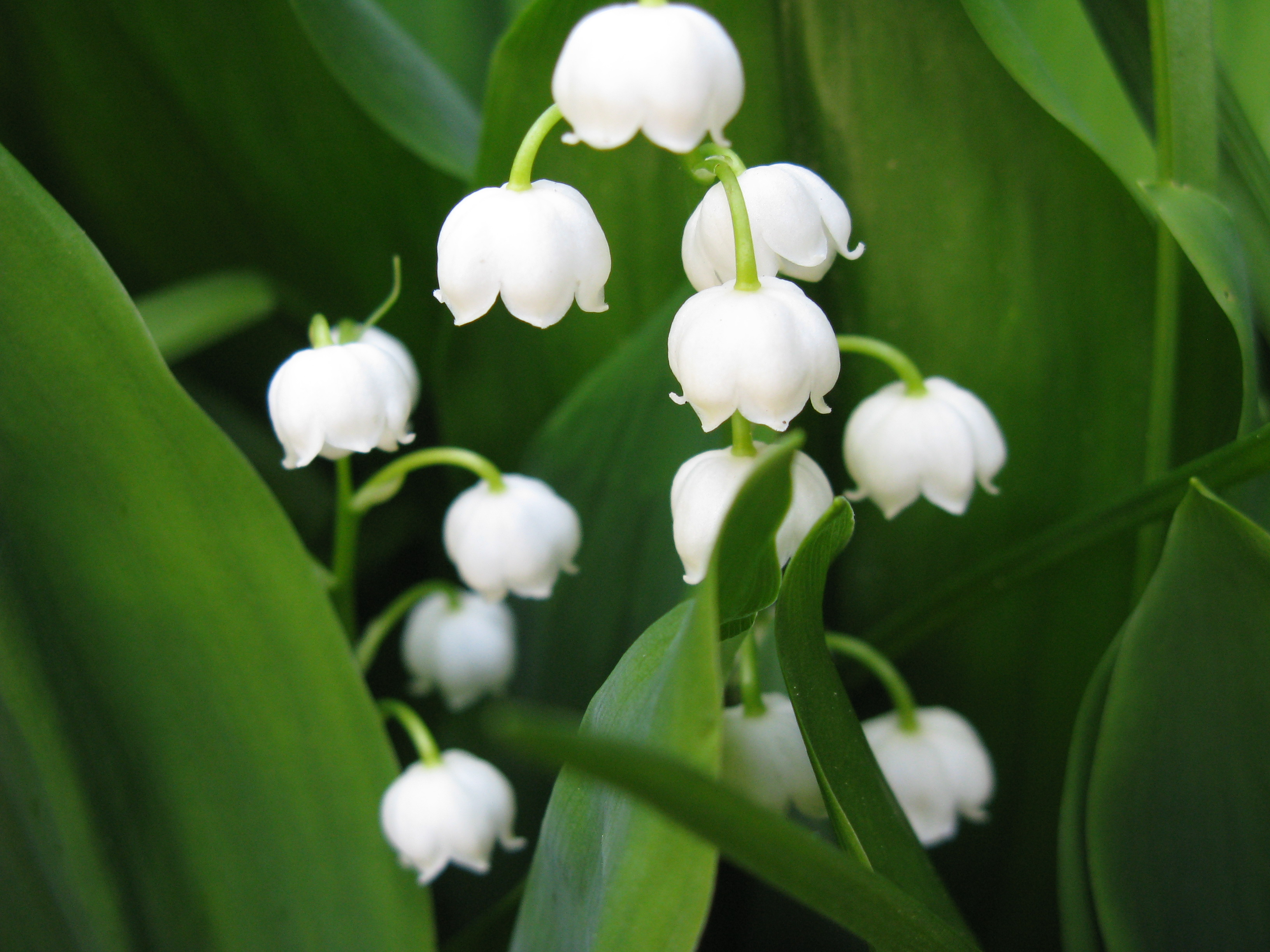 lily of the valley wallpapers high quality download free. Black Bedroom Furniture Sets. Home Design Ideas