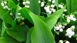 Lily Of The Valley Wallpaper Gallery