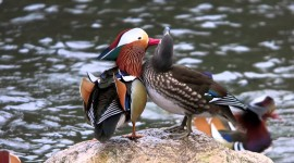 Mandarin Bird Best Wallpaper