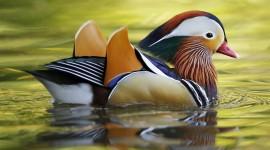 Mandarin Bird Wallpaper Download