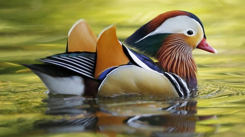 Mandarin Bird wallpapers high quality