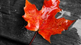Maple Leaf Desktop Wallpaper HD