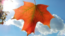 Maple Leaf Wallpaper Download