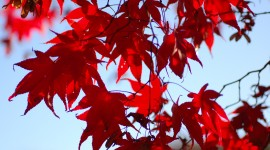 Maple Leaf Wallpaper Free