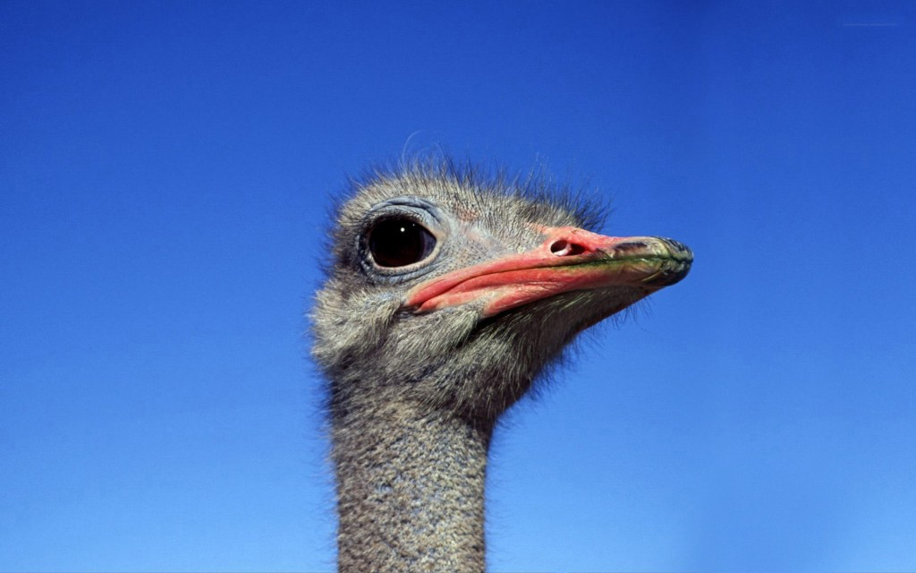 Ostrich wallpapers HD