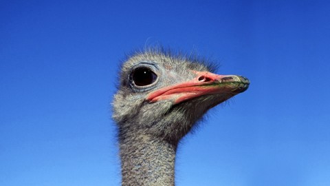 Ostrich wallpapers high quality