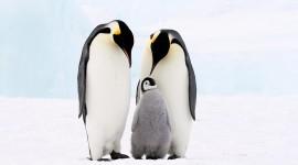 Penguins Wallpaper Free
