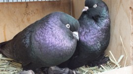 Pigeons Wallpaper Download