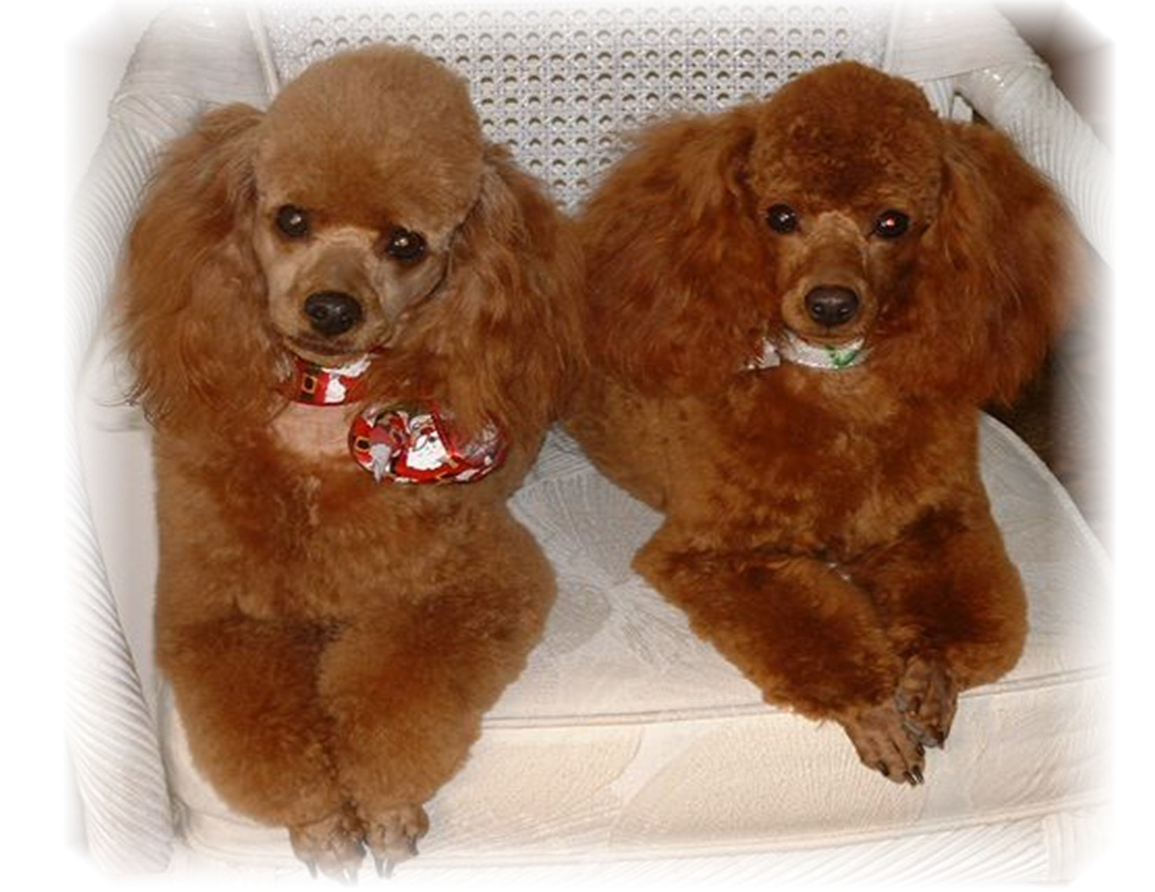 Poodle Wallpapers High Quality Download Free