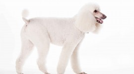 Poodle Desktop Wallpaper HD