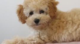 Poodle Photo