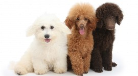 Poodle Photo Download