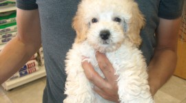 Poodle Photo#2