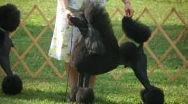 Poodle Photo#3