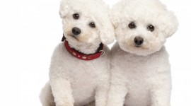 Poodle Wallpaper Download Free