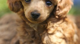Poodle Wallpaper For Android