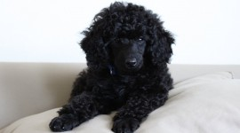 Poodle Wallpaper Gallery