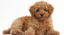 Poodle Wallpaper#3