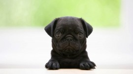Pug Picture Download