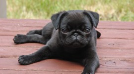 Pug Wallpaper Download