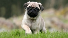 Pug Wallpaper Download Free