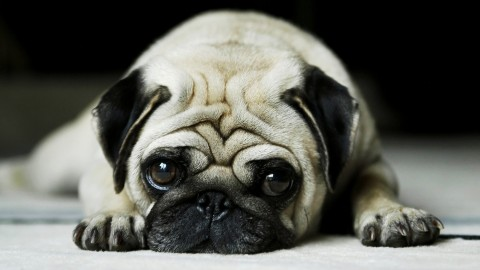 Pug wallpapers high quality