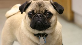 Pug Wallpaper Gallery