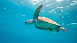 Sea Turtles Wallpaper Widescreen