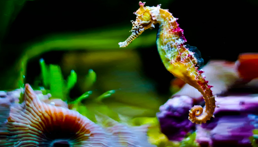 Seahorse wallpapers HD