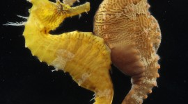 Seahorse Wallpaper For The Smartphone
