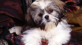 Shih Tzu Best Wallpaper