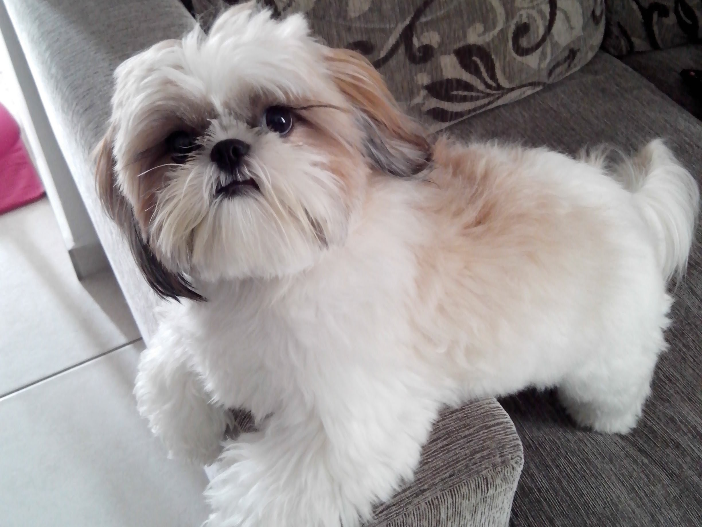 Shih Tzu Wallpapers High Quality Download Free