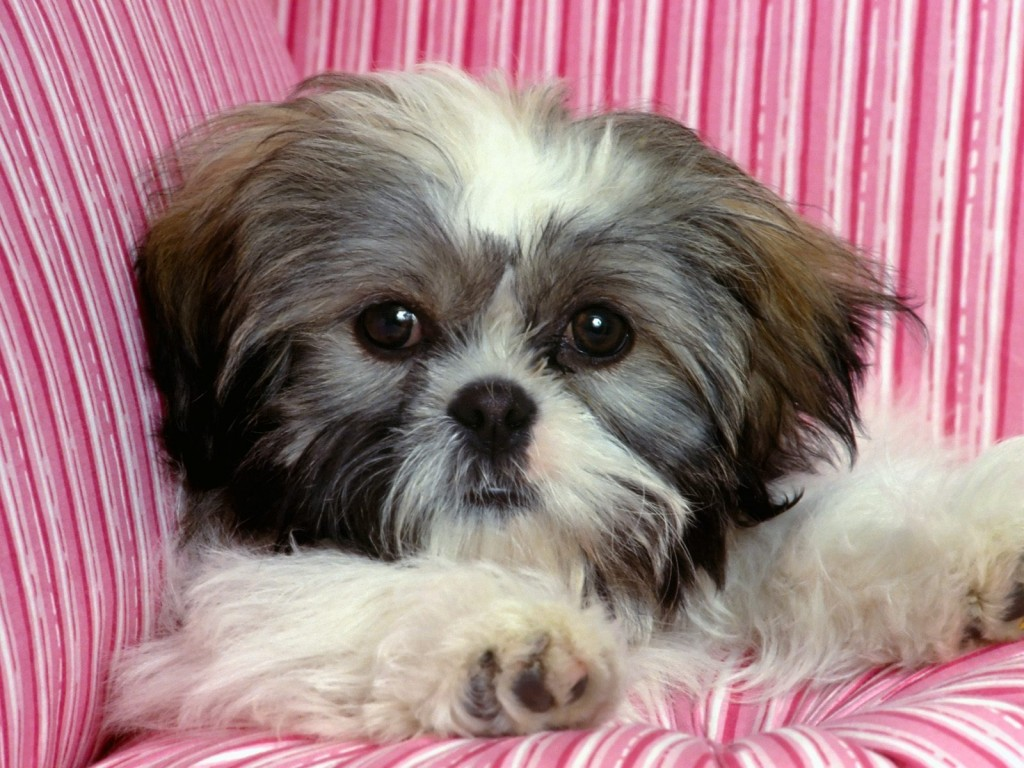 Shih Tzu wallpapers HD