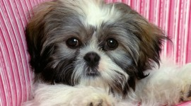 Shih Tzu Wallpaper Download