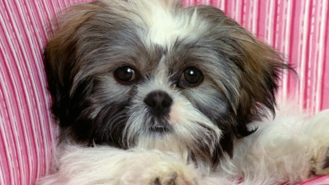 Shih Tzu wallpapers high quality