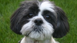 Shih Tzu Wallpaper For Desktop
