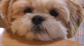 Shih Tzu Wallpaper For IPhone