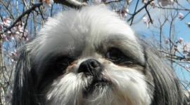 Shih Tzu Wallpaper For IPhone Download
