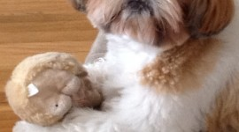 Shih Tzu Wallpaper For IPhone Free