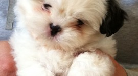 Shih Tzu Wallpaper For Mobile