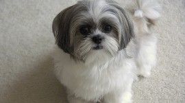 Shih Tzu Wallpaper For PC